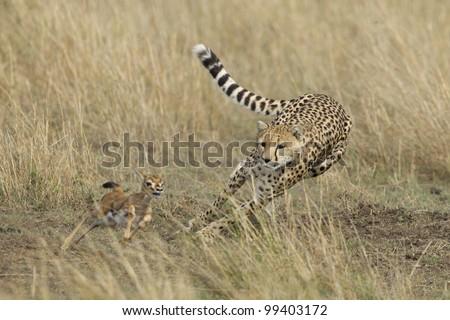 Cheetah (Acinonyx jubatus) chasing a young Thompson's Gazelle, Masai Mara, Kenya