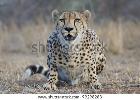 Cheetah (Acinonyx jubatus) crouching, South Africa