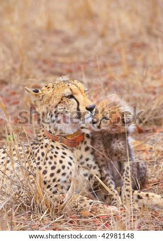 Cheetah (Acinonyx jubatus) cub with his mother in savannah in South Africa