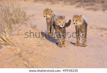 Cheetah (Acinonyx jubatus) cubs walking on the dirt road in savannah in South Africa