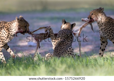 Cheetah (Acinonyx jubatus), eating, Kgalagadi Transfrontier Park, Kalahari desert, South Africa. Foto stock ©