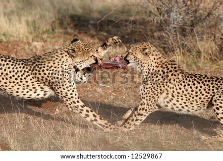 Cheetah (Acinonyx jubatus) fighting for best piece of meat. Etosha national park. Namibia