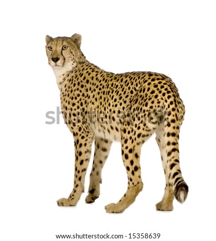 Cheetah - Acinonyx jubatus in front of a white background #15358639