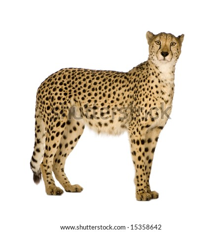 Cheetah - Acinonyx jubatus in front of a white background #15358642