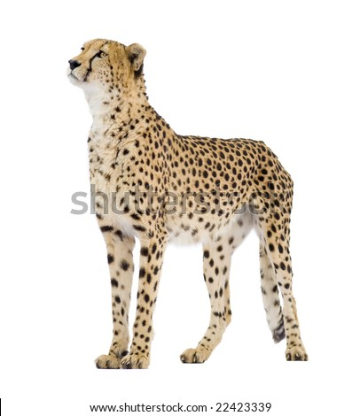 Cheetah - Acinonyx jubatus in front of a white background #22423339