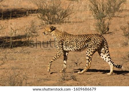 Cheetah (Acinonyx jubatus) in Kalahari desert going on dry sand with dry grass and dry trees background.