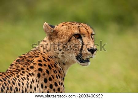 Cheetah (Acinonyx jubatus ), Kruger National Park, South Africa Zdjęcia stock ©