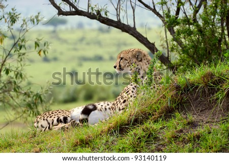Cheetah (Acinonyx jubatus). Large-sized feline inhabiting most of Africa and parts of the Middle East. Photo was taken in Masai Mara National Park, Kenya.
