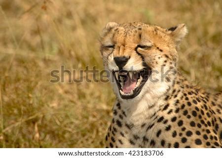 stock photo cheetah acinonyx jubatus laugh 423183706 - Каталог — Фотообои «Животные»