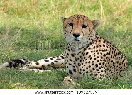 Cheetah (Acinonyx Jubatus) Lying in the Grass, Maasai Mara, Kenya