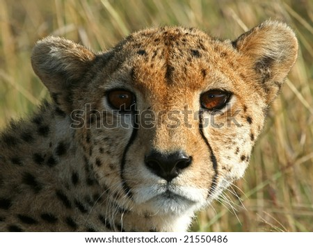 Cheetah (Acinonyx jubatus), Masai Mara Game Reserve, Kenya - stock photo