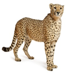 Cheetah, Acinonyx jubatus, 18 months old, standing in front of white background