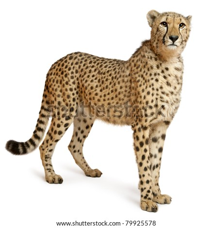 Cheetah, Acinonyx jubatus, 18 months old, standing in front of white background #79925578