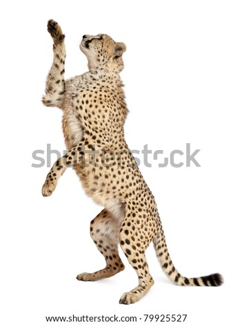 Cheetah, Acinonyx jubatus, 18 months old, standing up and reaching in front of white background #79925527