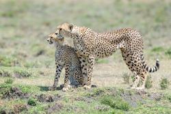 Cheetah (Acinonyx jubatus) mother and cub, together on savanna, searching for prey, Ngorongoro conservation area, Tanzania.