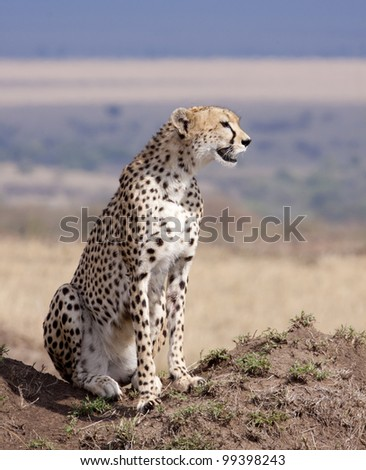Cheetah (Acinonyx jubatus) on a termite mound in Kenya's Masai Mara