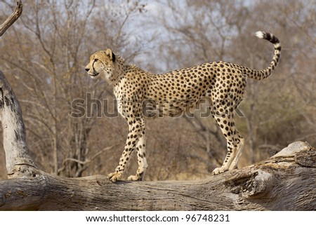 Cheetah (Acinonyx jubatus) on top of a dead tree, South Africa