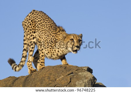 Cheetah (Acinonyx jubatus) on top of a rock, South Africa