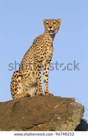 Cheetah (Acinonyx jubatus) on top of a rock, South Africa