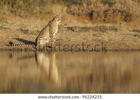 Cheetah (Acinonyx jubatus) reflection in water, South Africa