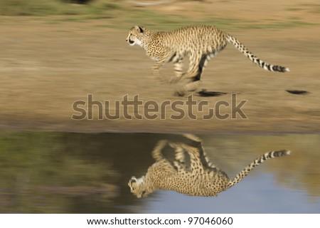 Cheetah (Acinonyx jubatus) running