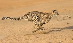 Cheetah (Acinonyx jubatus) running, South Africa