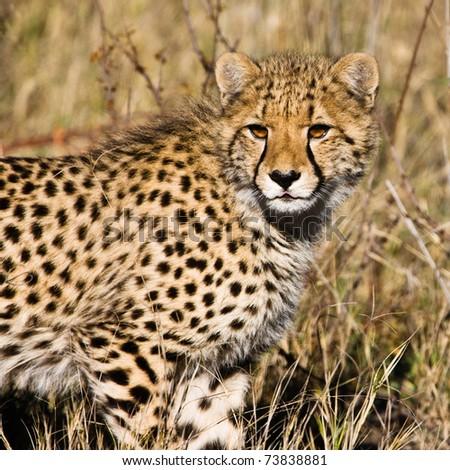 Cheetah (Acinonyx jubatus soemmeringii) in the Okavango Delta, Botswana