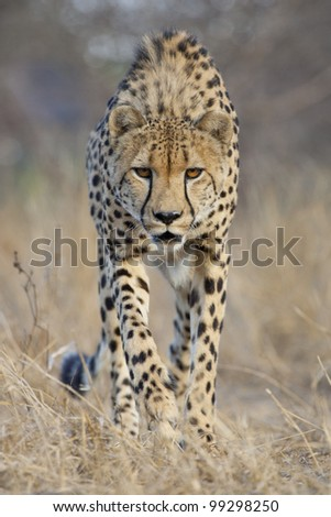 Cheetah (Acinonyx jubatus) stalking, South Africa