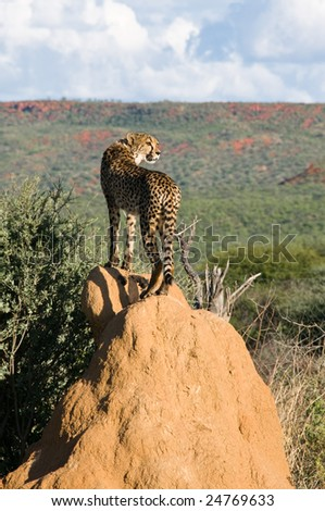 Cheetah (acinonyx jubatus) standing on Termite Mound, Namibia