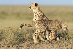 Cheetah (Acinonyx jubatus) together with cub sitting on savanna, searching for prey, Ngorongoro conservation area, Tanzania.