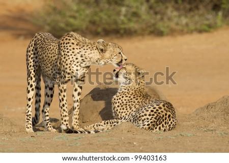 Cheetah (Acinonyx jubatus) two brothers grooming, South Africa