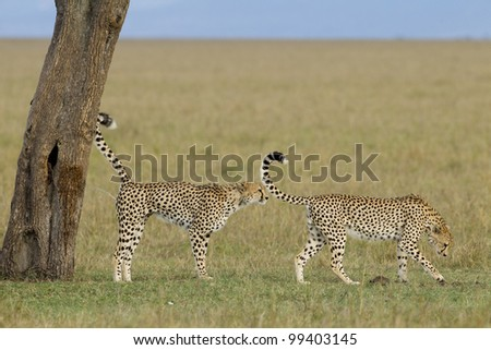 Cheetah (Acinonyx jubatus) two males scent marking a tree in Kenya's Masai Mara