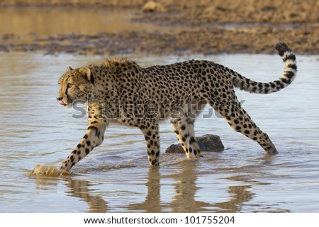 Cheetah, (Acinonyx jubatus) walking through water in South Africa