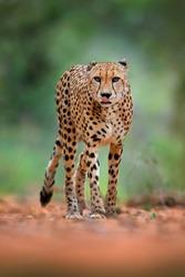 Cheetah, Acinonyx jubatus, walking wild cat. Fastest mammal on the land, Botswana, Africa. Cheetah on gravel road, in forest. Spotted wild cat in nature habitat, Okavango.