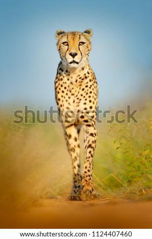 Cheetah, Acinonyx jubatus, walking wild cat. Fastest mammal on the land, Botswana, Africa. Cheetah on gravel road, face to face portrait. Spotted wild cat in nature habitat, Okavango delta