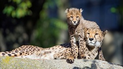 Cheetah and his cub on a stone.