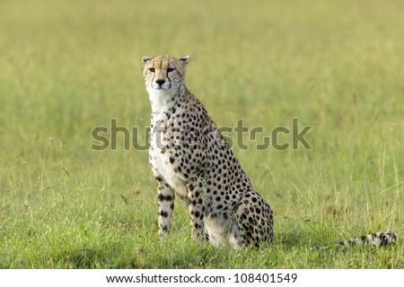 Cheetah at Masai Mara near Little Governor's camp in Kenya, Africa