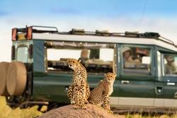 Cheetah at Masai Mara with onlooking tourist