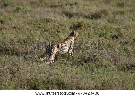 Cheetah Botswana Africa savannah wild animal mammal #679423438