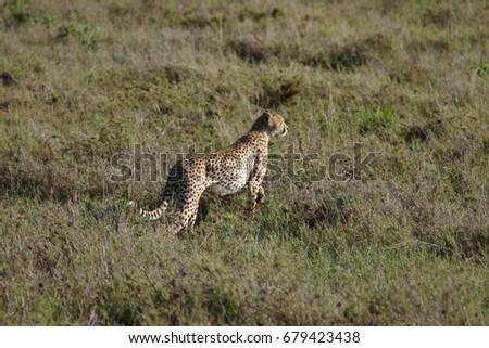 Cheetah Botswana Africa savannah wild animal mammal #679423438