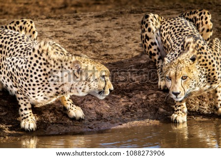 Cheetah brothers drinking at a waterhole, Addo Elephant National Park, South Africa Stock photo ©