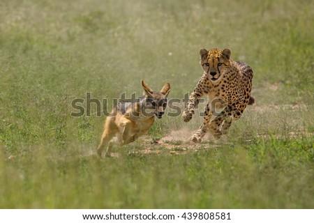 Cheetah chasing Jackal