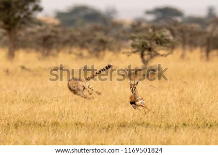 Cheetah chasing Thomson gazelle among whistling thorns
