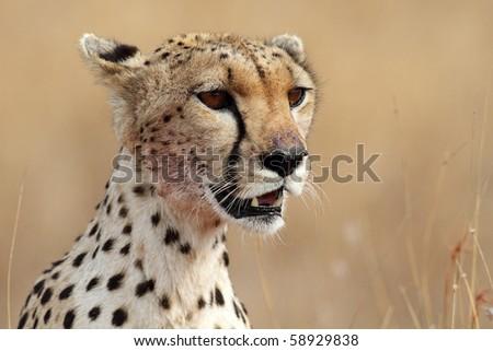 Cheetah close-up, Serengeti NP, Tanzania, East Africa