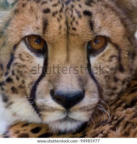 Cheetah closeup #94985977