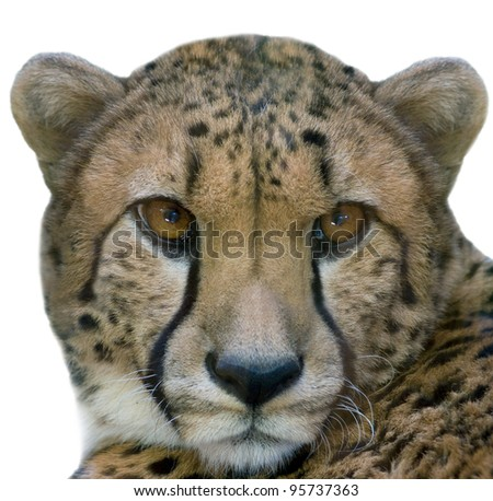 Cheetah closeup - isolated on white background
