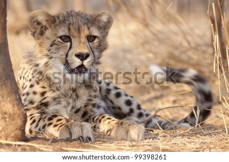 Cheetah cub (Acinonyx jubatus) lying under a tree, South Africa