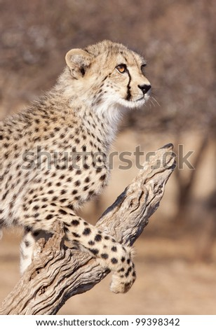 Cheetah cub (Acinonyx jubatus) on a dead log, South Africa - stock photo