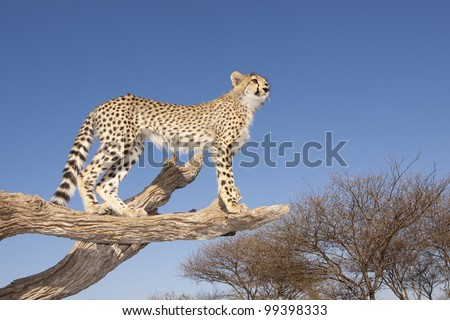 Cheetah cub (Acinonyx jubatus) on a dead tree with blue sky background, wide angle, South Africa - stock photo