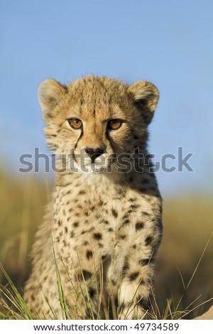 Cheetah cub curiously looks on